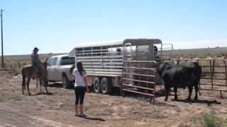 loading a bull bryce wagoner