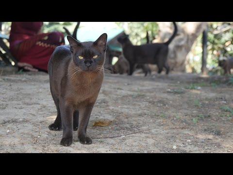Reintroducing the Burmese cat to Burma