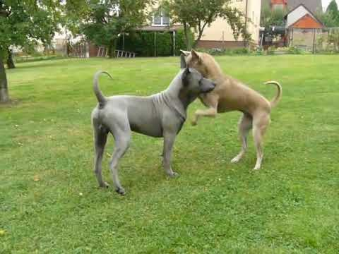 Thai Ridgeback Dog - PLUMS´JEWEL