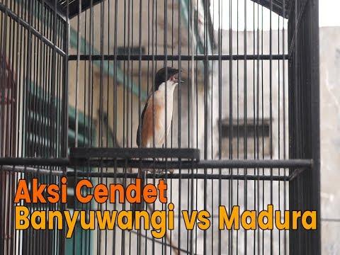 Beda Burung Pentet/ Cendet Banyuwangi dan Madura || full Isian