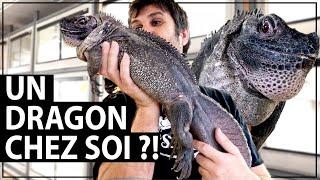 Hydrosaurus weberi - Hydrosaure de Weber vidéo