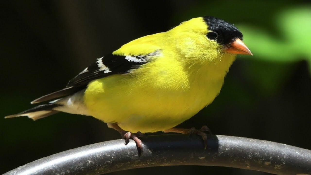 finch bird sounds   yellow finch bird sounds   goldfinch ...