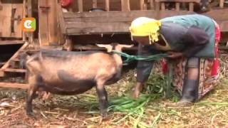 'Miracle' of Nyeri goat that gives birth to 5 kids at a time