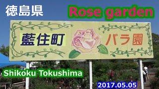 徳島県藍住町「藍住町バラ園」のバラ 2017.05.05