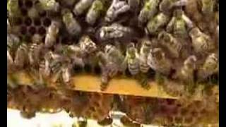Beekeeping - Queen bee on frame