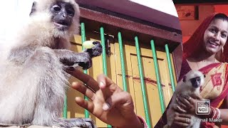 How difficult it is to apply medicine on the wound of this electric shocked langur!