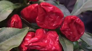Ornamental Peppers Plant Profile