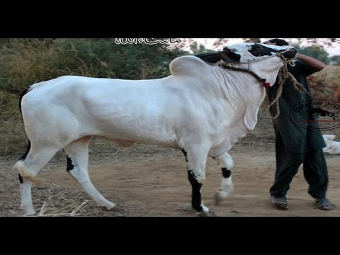 Bull No 1 Of Fauji Mirwaal || MASHALLAH || 2019 Collection