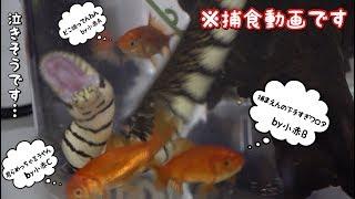 水蛇に金魚を与えてみたら迫力がヤバすぎた