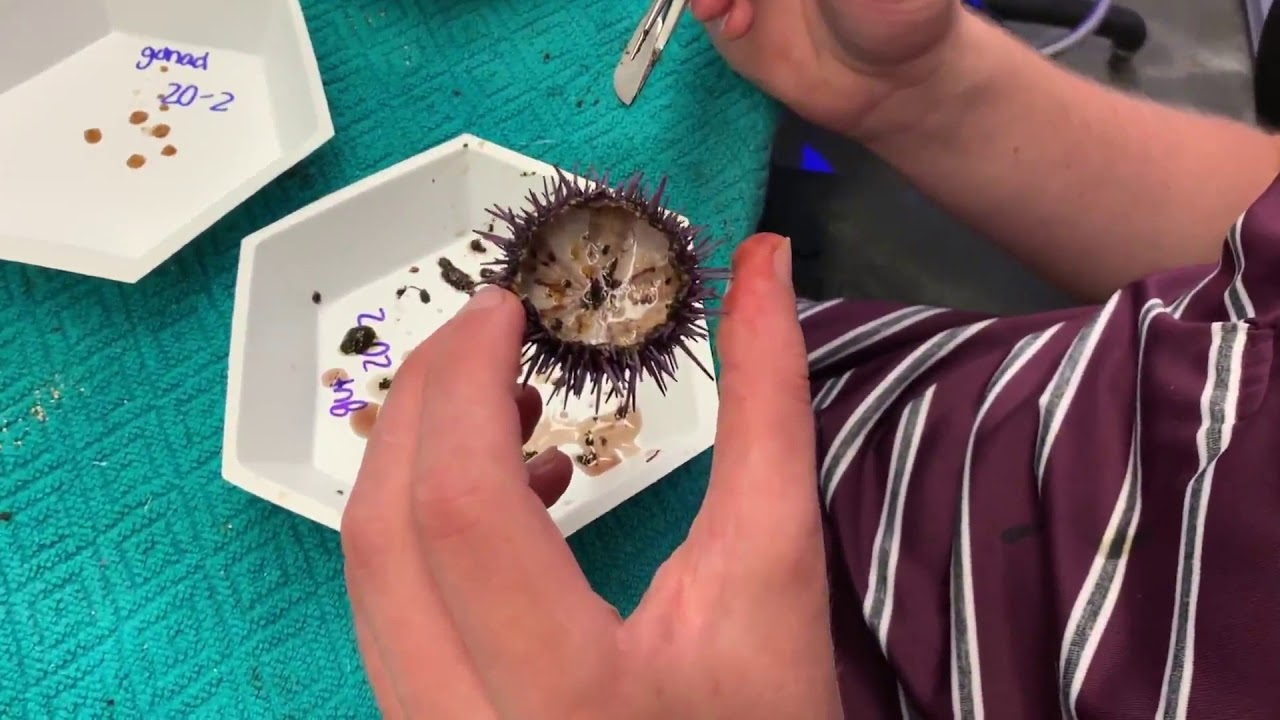 Semester Project: Effects of Feeding Regime on Growth Rate in the Purple Sea Urchin #Regime