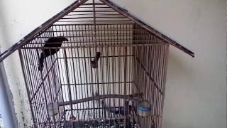 Macam-macam jenis burung pelihara dirumah