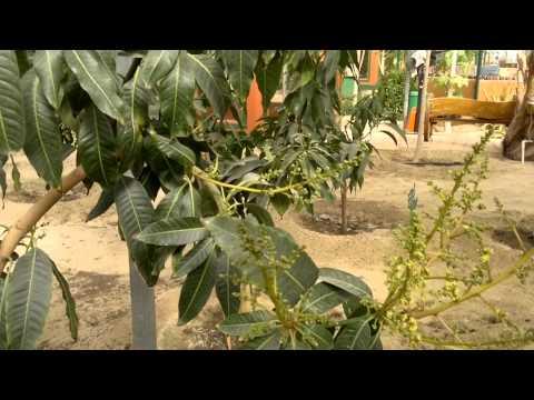 اشجار مثمرة - Gulf Plants