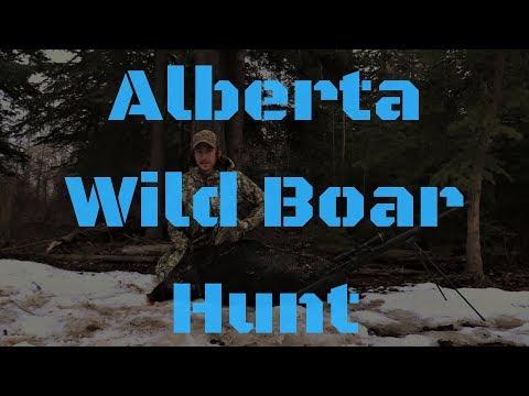 Hunting Elusive Alberta Razorback Hogs