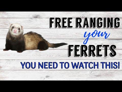 MUST WATCH- Free Ranging Your Ferrets   Pazuandfriends