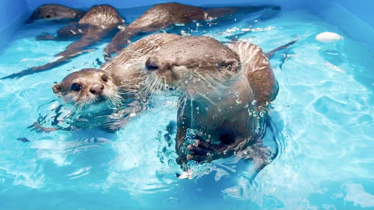 【カワウソ】一緒にプールに入ったらカワウソたち大喜び!