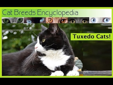 Tuxedo Cats   Cat Breeds Encyclopedia