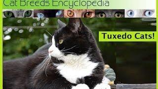 Tuxedo Cats   Cat Breeds Encyclopedia