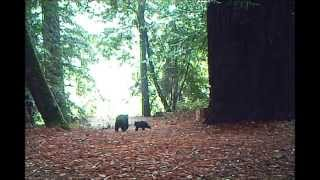 Bears in the Woods
