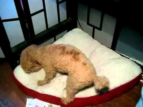 Peanut The Mini Poodle Digs This Dog Bed Youtube