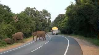 Wild elephants crossing road in Sri Lanka