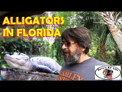 Alligators In Florida & Other Wildlife Along The Withlacoochee River - Turtles, Fish And Other.