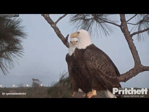 Swfl eagles southwest florida eagles headless fish for H m fish count