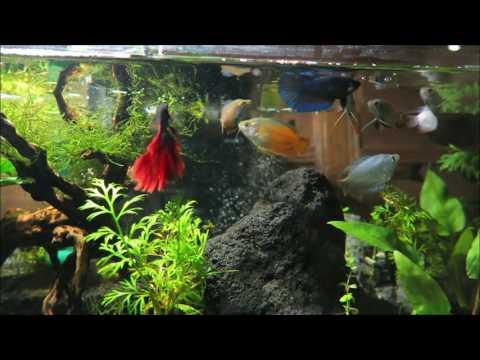 Dwarf Gourami & Betta Fish Tank Aquascape Feeding Time