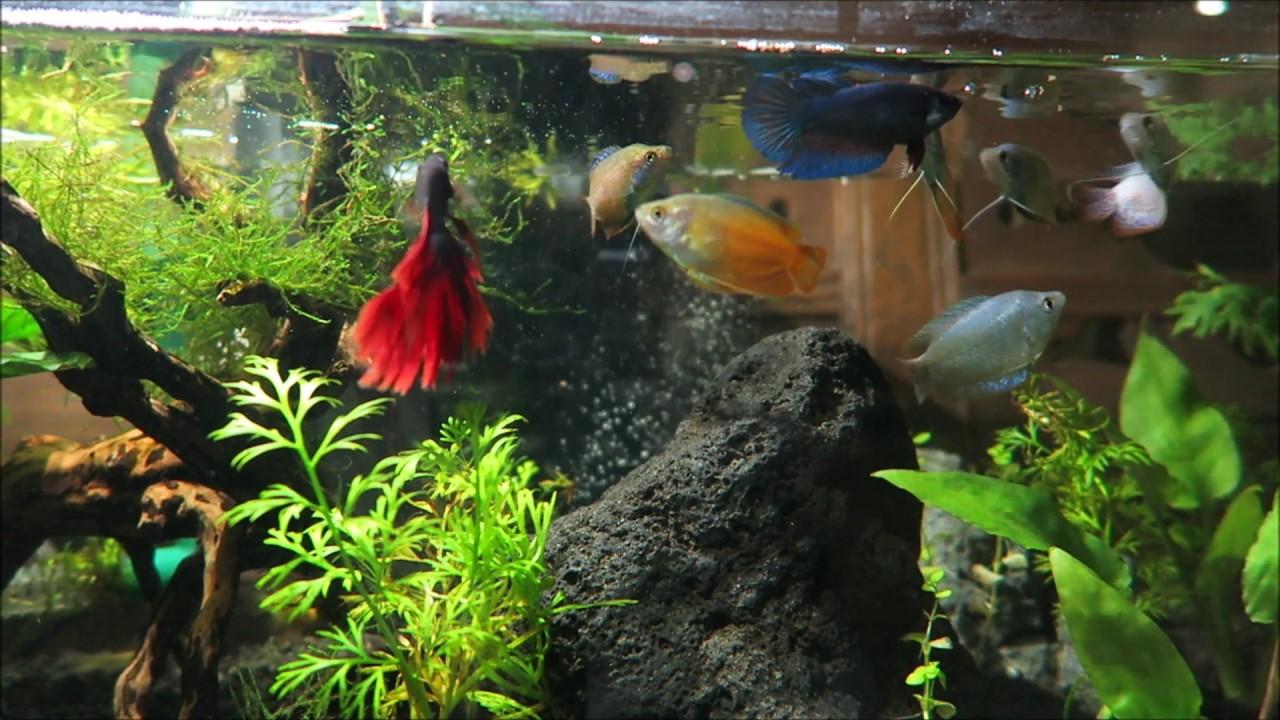Dwarf gourami betta fish tank aquascape feeding time for Betta fish feeding