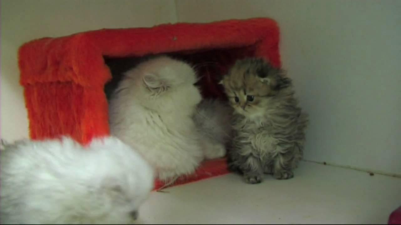 magnifique chatons persan chinchilla LOOF  GATO
