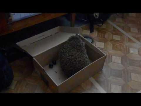 Hedgehog being a mischief
