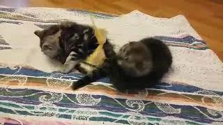 Дымчатый и мраморный шотландские котята, 1,5 месяца