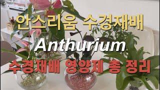 안스리움 수경재배 (수경재배 영양제 총정리 뿌리관리 햇…
