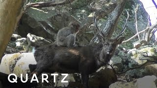 Monkeys are practicing sex on deer