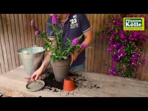 Sommerflieder einpflanzen in ein Gefäß | Pflanzen-Kölle