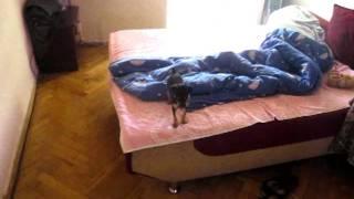 Toy Terrier Guduna