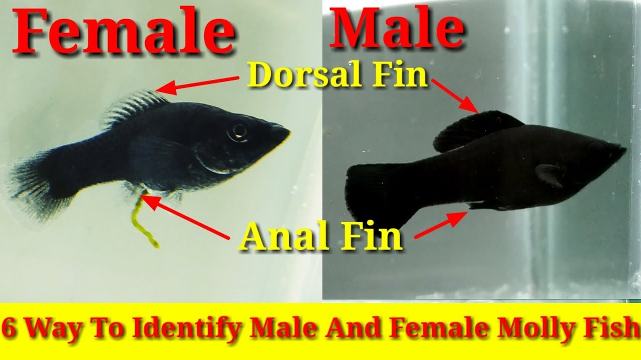 6 Way To Identify Male And Female Molly Fish - Youtube-7851