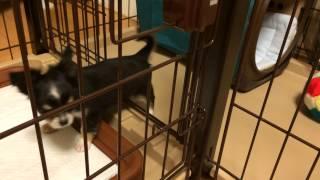 新しい家族として、チワワの二ヶ月の子犬がやってきました。しばらく安...