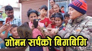 cobra snake goman sarpa
