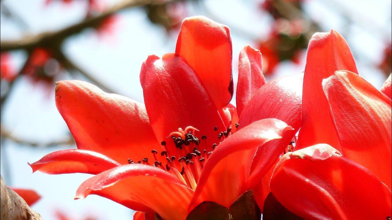 Palash Flower - Butea Monosperma Flowering Tree - YouTube Palash Flower In Hindi