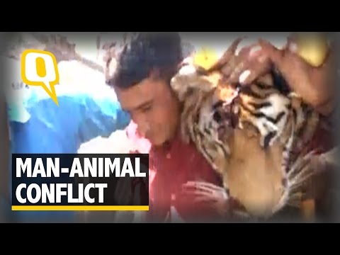 The Quint: Man-Eating Tigress of Corbett Shot Dead After a 45-Day Hunt