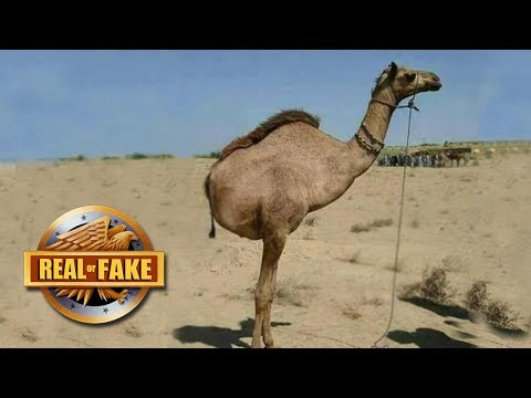 CAMEL WITH TWO LEGS  - real or fake?