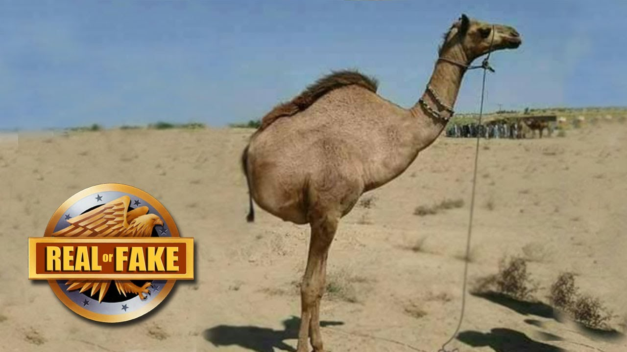 CAMEL WITH TWO LEGS - real or fake? - YouTube