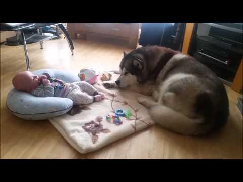 Alaskan Malamute Beowulf & Baby Leon
