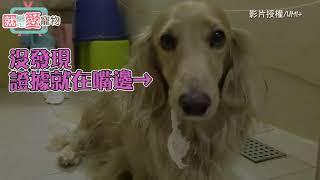 偷咬衛生紙忘記擦嘴巴 UMI表示:偶犯了全天下狗狗都會犯的錯QQ