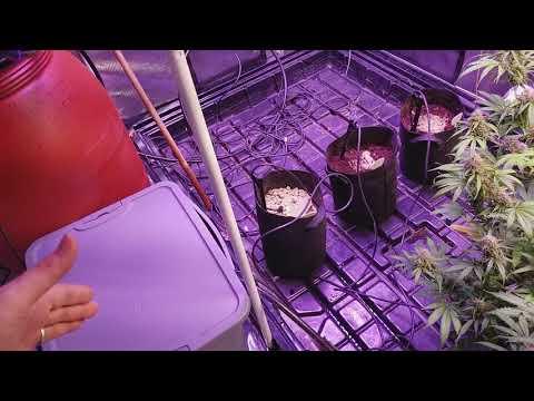 Day 75 auto Sensi Skunk Perfect Sun LED grow journal