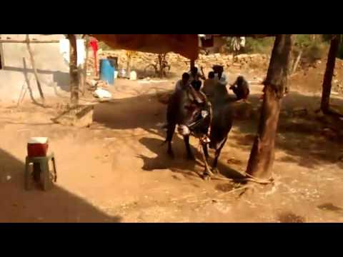 Real Nandi at Jata Shankar mandir Madhya...