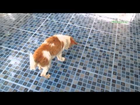 หมาน้อยในเชียงใหม่ ; Little dog ; Chiang Mai