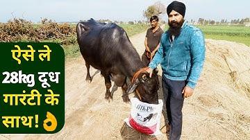 दूध बढ़ाने का फार्मूला बताया|Feed Formulation by Kd singh Dairy Farmer Punjab