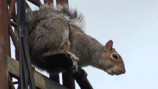 GREY SQUIRREL ALARM CALL
