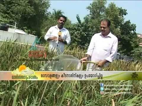 Successful Paddy farming on the terrace of a house